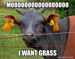 lomison  Cow