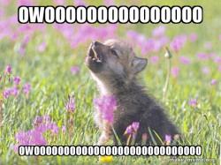 Baby wolf cub