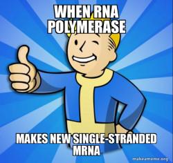 RNA POLYMERASE AND mRNA