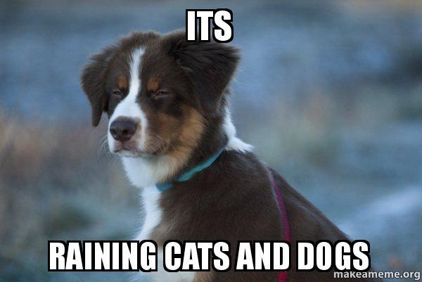 its raining cats and dogs unsure dog make a meme